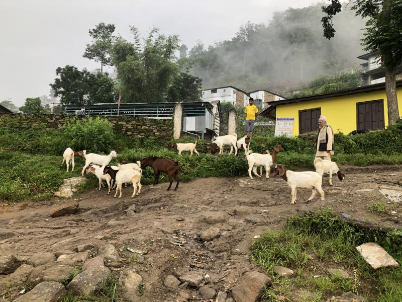 goats in madi municipality